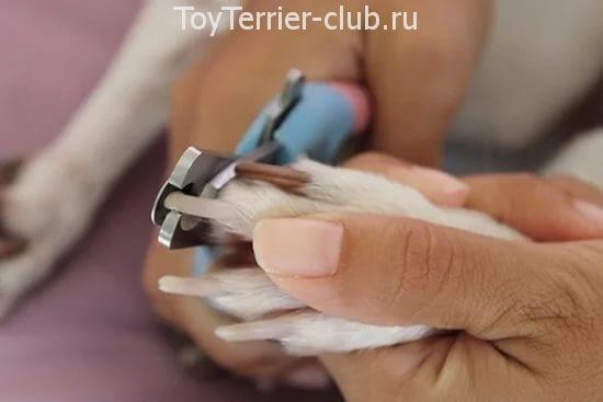 Как подстричь когти той терьеру видео